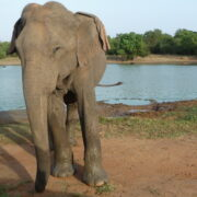 éléphant dans Parc national d'Uda Walawe