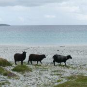 Plage des shetlands