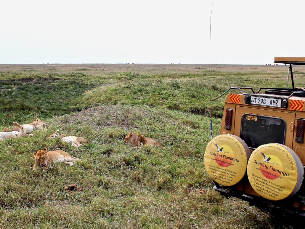 arrêt devant un groupe de lionnes dans le Serengeti