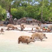 cochons des bahamas
