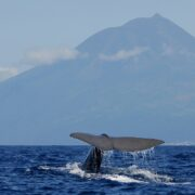Whale Watching at Pico or Faial islands