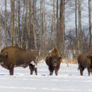 bisons polonais sous la neige